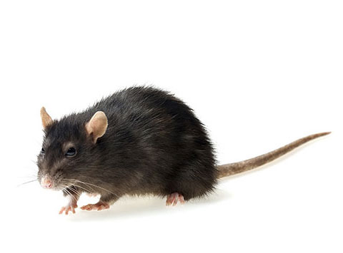 Rodent Removal - Global Rodent & Pest Services